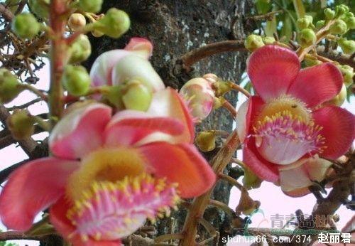 菩提花角花素材