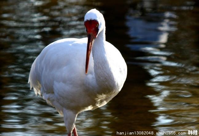 白鹤鸟一只有多重