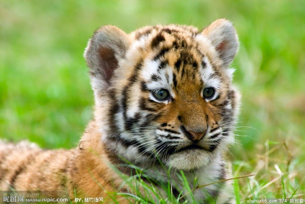 老虎本来就属猫科动物,猫会爬树,老虎自然会爬树,什么猫是虎的师父,却